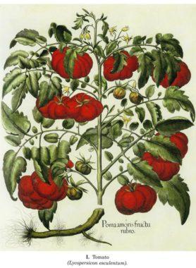 beslers-tomato.jpeg